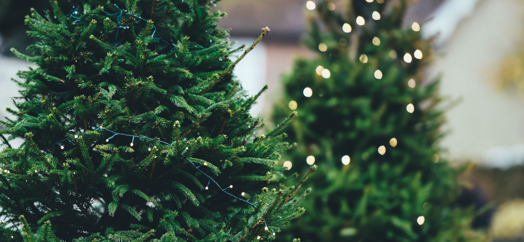 Blog article entitled A Greener Christmas - Christmas Trees